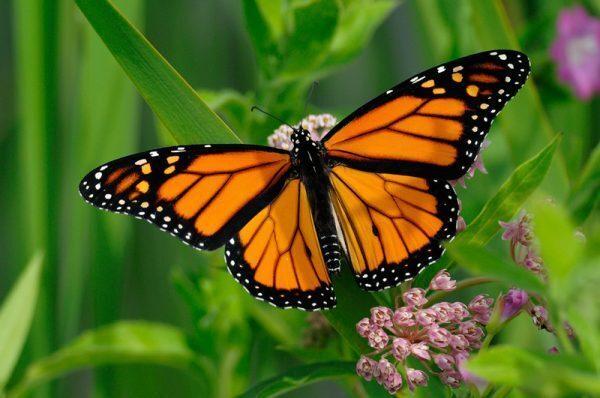 Simbologia Farfalla