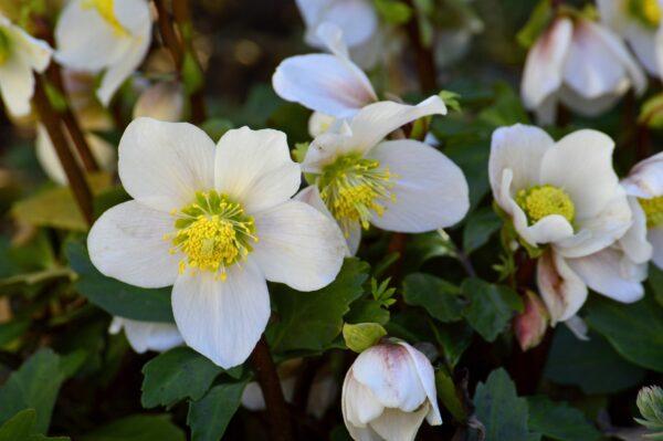 Elleboro: la rosa di natale simbolo di rinascita