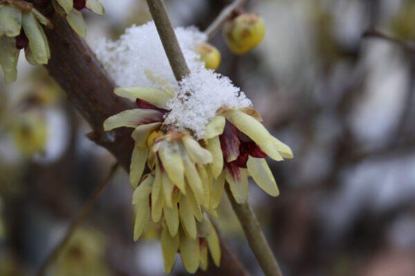Calicanto: significato, leggende e usi magici del fiore d'inverno