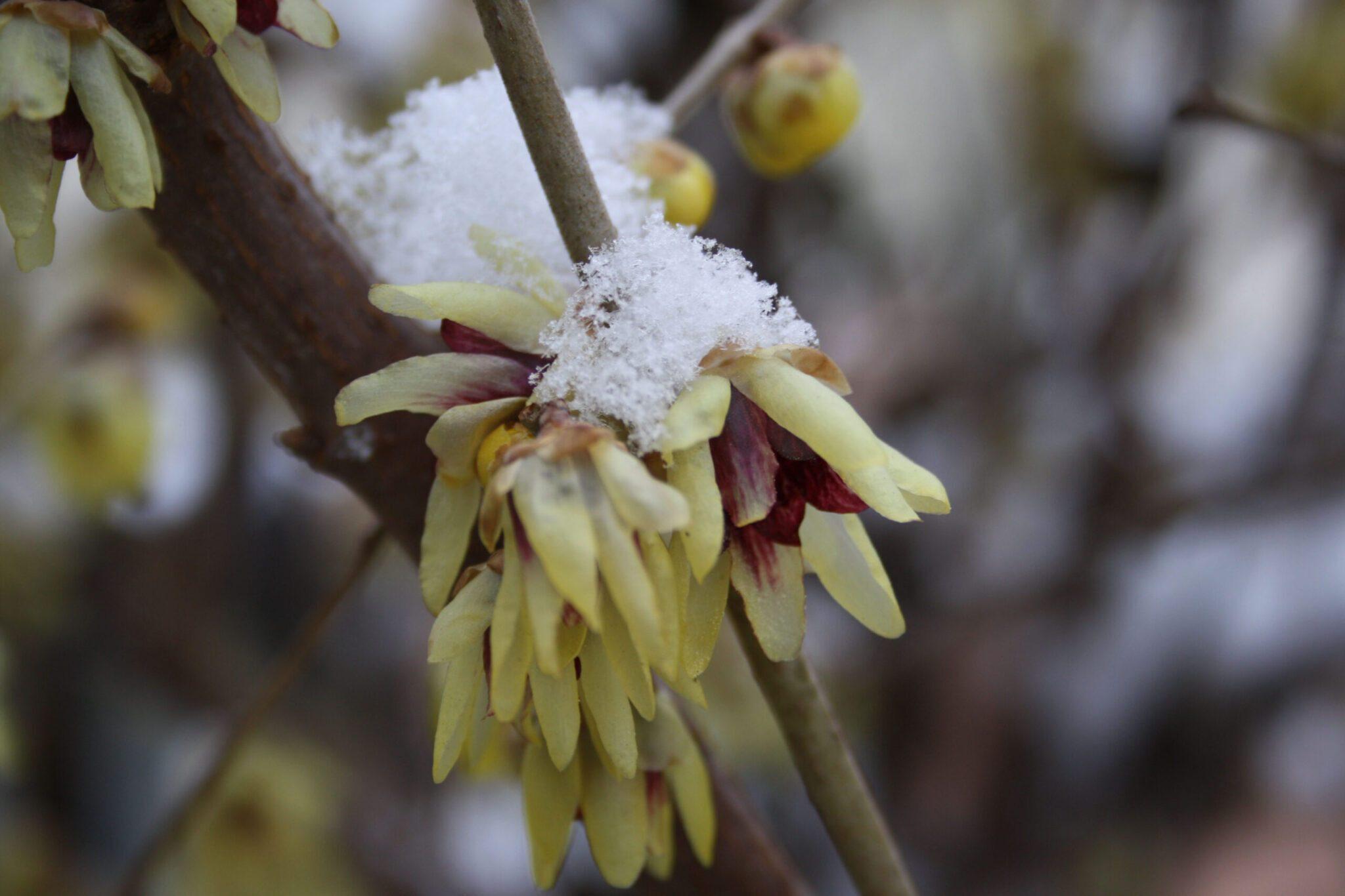 Calicanto Fiore D Inverno calicanto: significato, leggende e usi magici del fiore d
