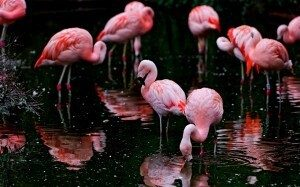 flamingo_hd_background_wallpaper-wide