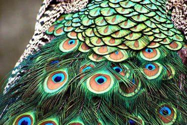 Simbologia pavone - Immagini pavone a colori ...
