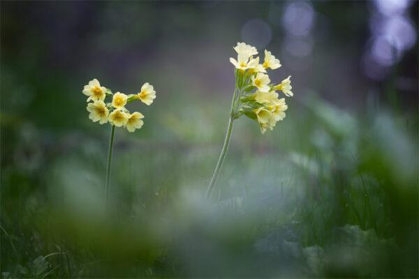 Primula: il fiore della dea Freyja che annuncia la primavera