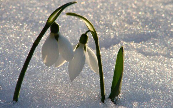 Bucaneve: significato, curiosità e usi magici del fiore