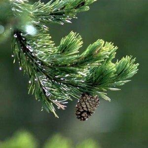 pino-silvestre
