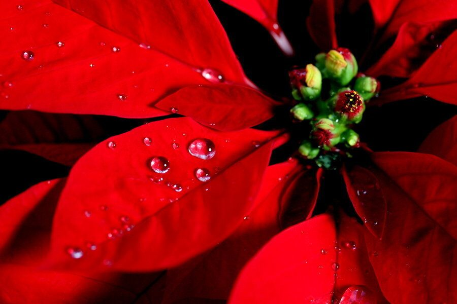 Significato Della Stella Di Natale.Stella Di Natale Caverna Cosmica