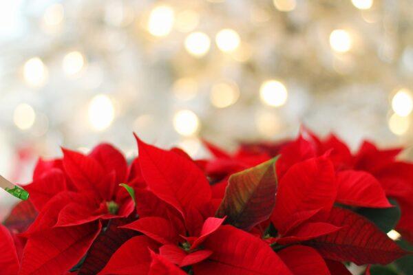 Stella di Natale: il significato simbolico della poinsettia fra leggende ed usi magici