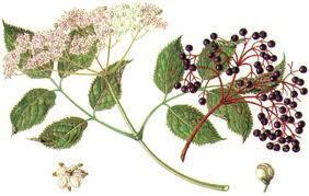 sambuco-fiori-disegno