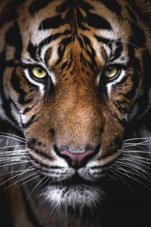Simbolo e significato della tigre