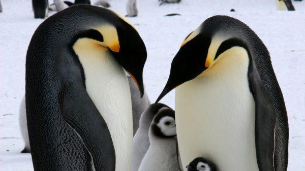 Simbologia del pinguino