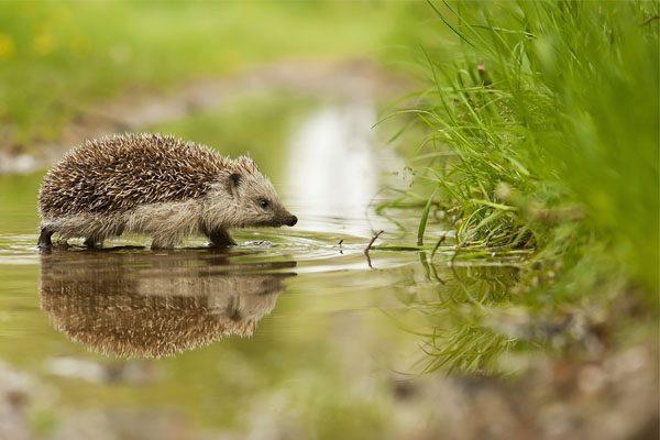 Cosa significa vedere un riccio? Simbolo, significato e leggende sul riccio