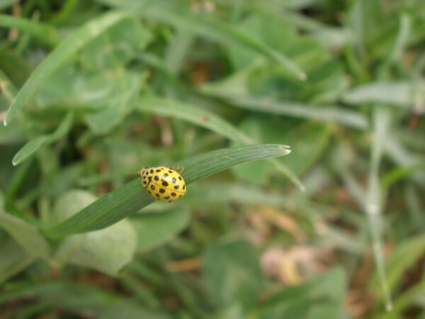 Cosa significa vedere una coccinella gialla?