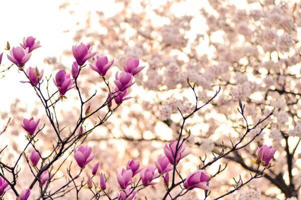Significato, simbolo, leggende e usi magici della magnolia