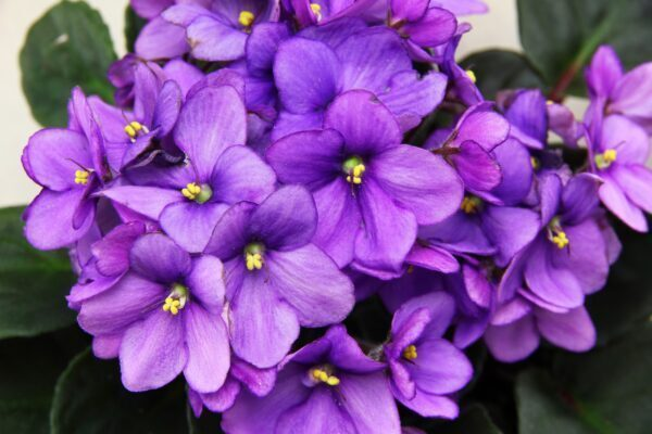 Tutta la magia della violetta africana: significato, leggende, usi magici della Saintpaulia