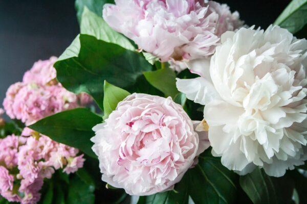 il significato della peonia: la regina dei fiori
