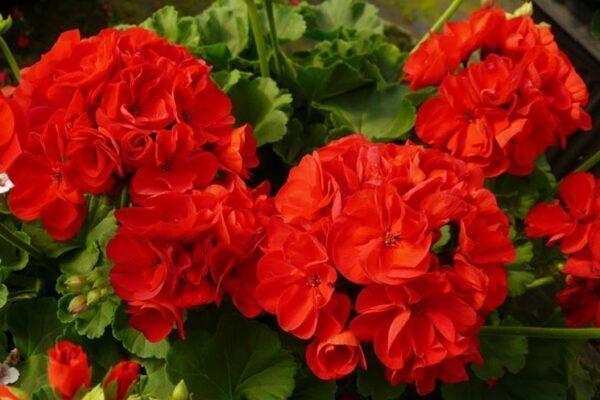 Cinque erbe che dovresti proprio raccogliere il giorno di San Giovanni (24 giugno): cinquefoglie, malva, geranio, girasole, calendula